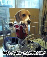 愛犬 ビーグル