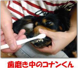犬 歯磨き
